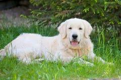 Идти собаки золотого retriever внешний Стоковые Изображения RF