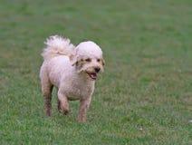 Идти собаки Cavapoo Стоковое Фото