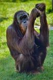 Идти Orang-Outang обезьяны Стоковое фото RF