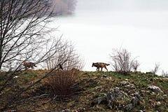 Идти wolfs Стоковое Фото