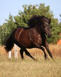 Идущая исландская лошадь на paddock стоковые изображения rf