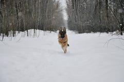 Идущая немецкая овчарка в зиме Стоковое Фото