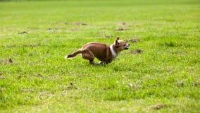 Идущая собака стоковое изображение rf