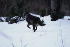 идущий волк снежка Стоковые Изображения