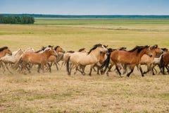 Идущий табун лошадей на поле стоковое фото rf