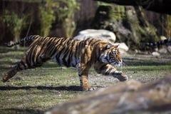 идущий тигр Стоковые Изображения RF
