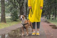 Идущ собака в плаще на дождливый день Женская персона и staf стоковая фотография rf