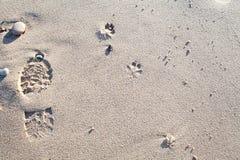 Идущ собака на пляже Следы ноги в песке Стоковые Фотографии RF