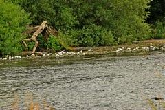 Идя ветвь дерева на реке Стоковое Изображение