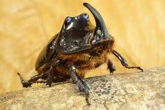 Идя крупный план жука носорога стоковое фото rf