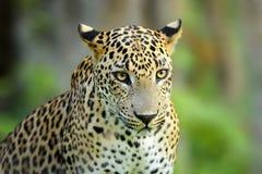 Идя леопард Sri Lankan, большой запятнанный одичалый кот лежа в na Стоковое фото RF