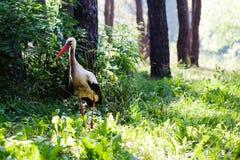 Идя птица аиста предпосылка леса зеленой травы Сцена летнего времени Стоковые Фотографии RF