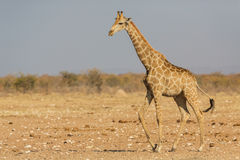 Идя Giraffa жирафа Стоковые Изображения RF
