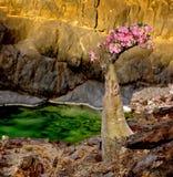 Иемен Сокотра Эндемичное дерево бутылки в цветени Стоковая Фотография