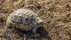 Иешуа черепаха Стоковые Изображения