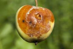 Избалованный сбор яблока Стоковые Фотографии RF