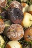 Избалованный сбор яблока Стоковое Изображение