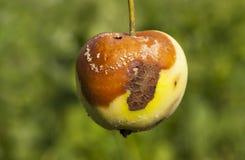 Избалованный урожай яблок Стоковые Изображения