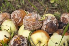 Избалованный урожай яблок Стоковая Фотография