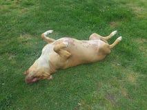 избалованная собака Стоковое Фото