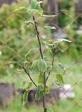 Избежание молодых яблонь стоковая фотография rf