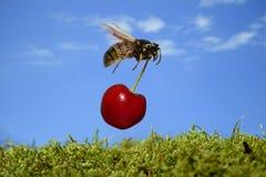 Избежание похитителя насекомого неба природы кражи мухы вишни оси стоковое изображение