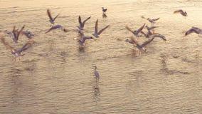Избежание птиц от опасности на заходе солнца сток-видео
