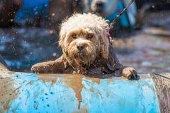 Избежание собаки к победе стоковая фотография rf