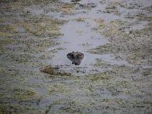 Изверг болота Стоковые Изображения RF