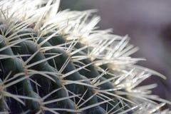 Изверг кактуса стоковые фотографии rf