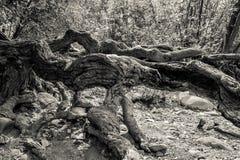 Изверг среди корней стоковое фото