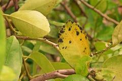 Известка, заболевание лимона, причины грибками, заболевание заболеванием лист melanose стоковое фото rf