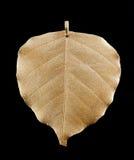 известка листового золота Стоковые Фото