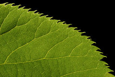 известка листьев иннервации стоковая фотография rf