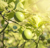 Известка на дереве Стоковые Фото