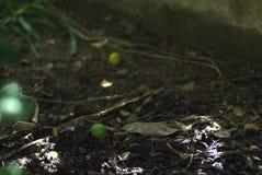 Известка Kaffir приносить на земле Стоковое фото RF