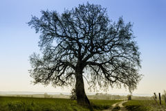 Известк-дерево ясное против голубого неба Стоковые Фото