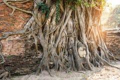 Известная голова Будды с корнем баньяна на буддийском виске Wat стоковое фото rf