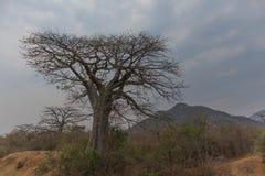 Известное дерево Африки bantu anisette Стоковое Изображение RF