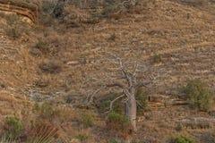 Известное дерево Африки bantu anisette Стоковые Изображения RF