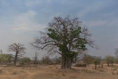 Известное дерево Африки bantu anisette Известное дерево Африки Bao Стоковое Изображение RF