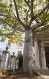 Известное дерево Ceiba на Площади de Armas в старой Гаване, обходе людей для того чтобы объехать дерево в надежде на исполнение и стоковая фотография