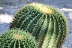 Известное grusonii Hildm Echinocactus кактуса золотого бочонка Стоковые Изображения RF