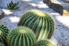 Известное grusonii Hildm Echinocactus кактуса золотого бочонка Стоковая Фотография