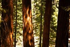 Известные большие деревья секвойи стоят в национальном парке секвойи Стоковая Фотография