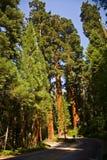 Известные большие деревья секвойи Стоковое Фото