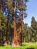 Известные большие деревья секвойи Стоковое Изображение