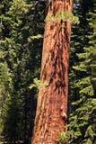 Известные большие деревья секвойи Стоковое фото RF