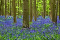 Известный лес Hallerbos в Брюсселе Бельгии Стоковые Фотографии RF