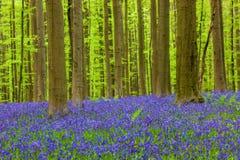 Известный лес Hallerbos в Брюсселе Бельгии Стоковые Изображения RF